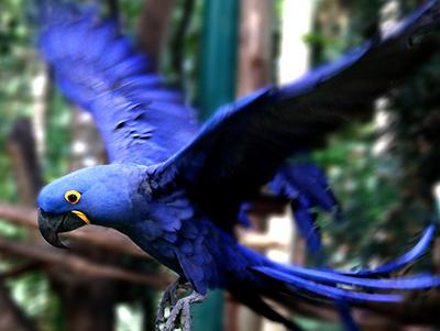 arara azul voando
