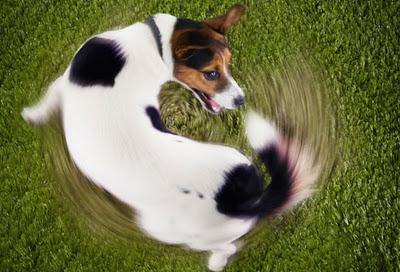 Cachorros correm atrás do rabo antes de deitar