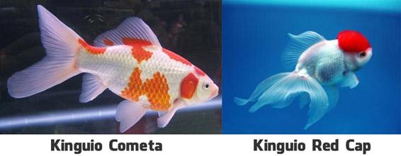 Peixe de Água Doce Kinguio