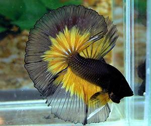 Peixe-Betta