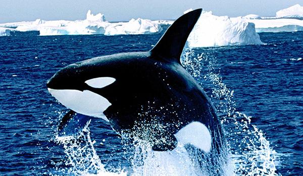 orca-no-mar