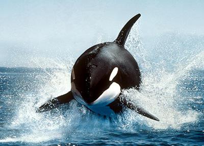 Foto de Orca fora d'água