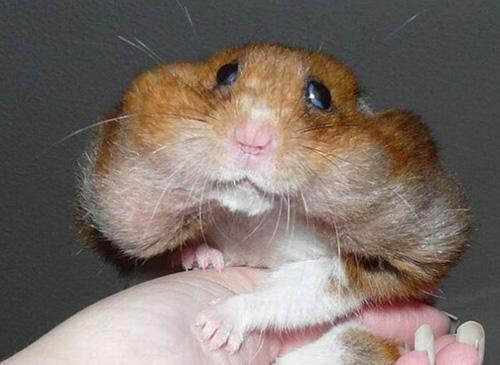 Nomes para Hamster tem que ter sentido - Esse é o comilao
