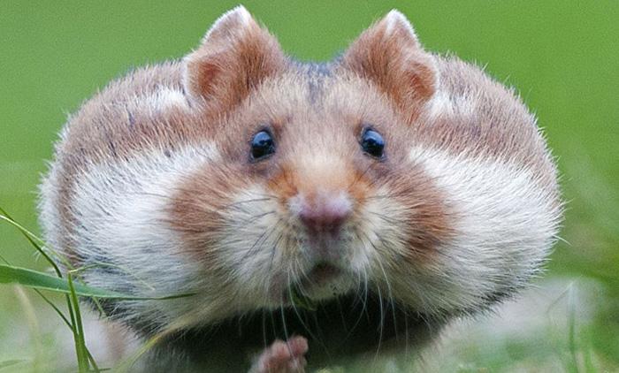 Nomes para Hamster