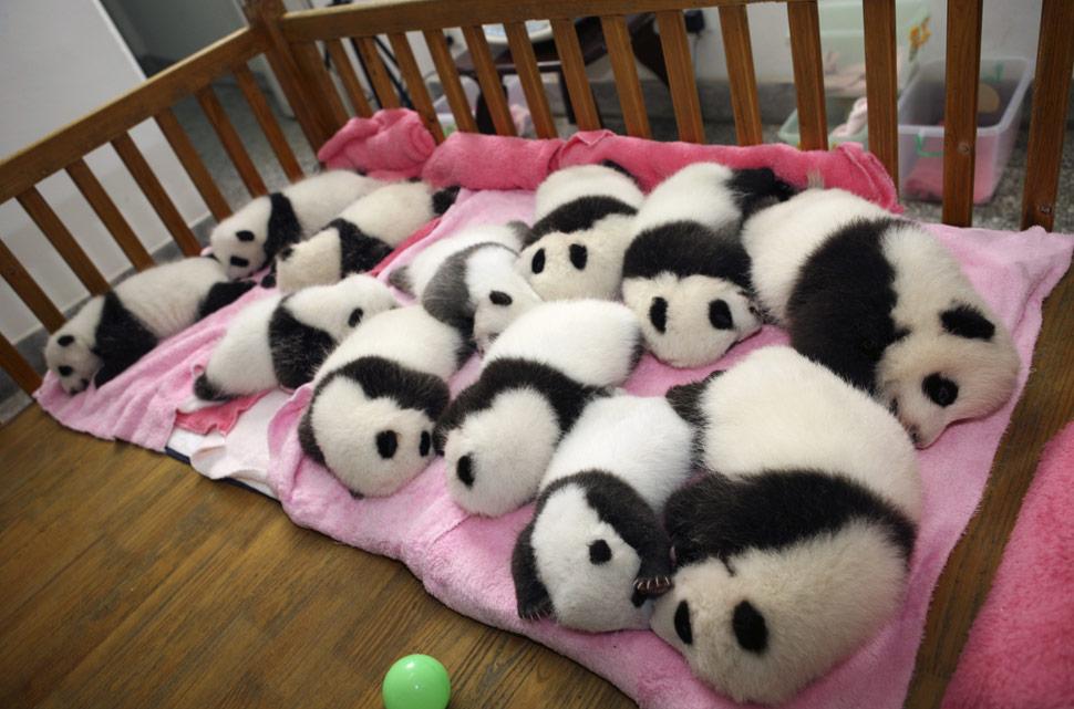 Resultado de imagem para urso panda