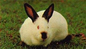coelho california