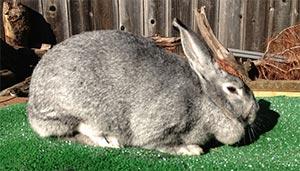 coelho chinchila americano