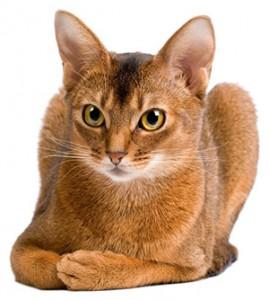 gato abissinio muito lindo