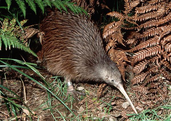 Resultado de imagem para ave kiwi