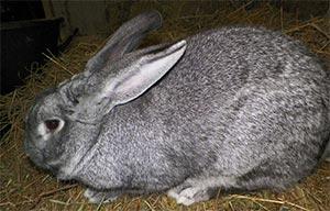 raça de coelho chinchila gigante