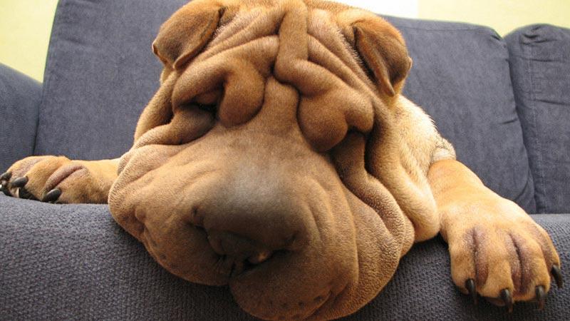 Cachorro Super Peludo