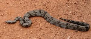 Cobra Jiboia