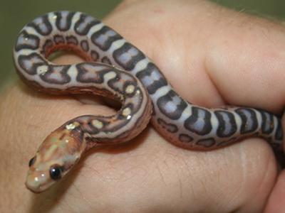 corn snake - criar cobra cativeiro