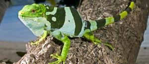 Iguana Bonita