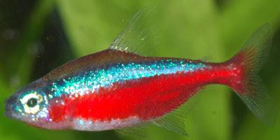 Peixe Neon
