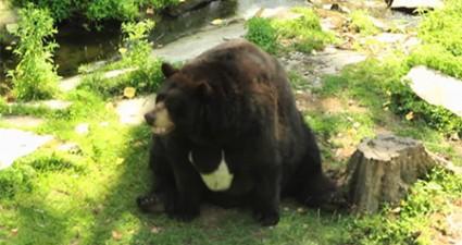 Urso Muito Gordo